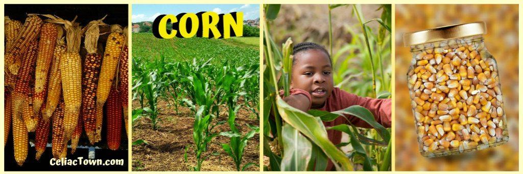 Corn is a Gluten Free Grain Graphic