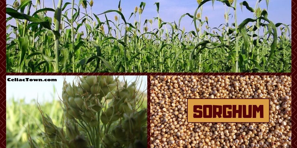 Sorghum gluten free grains graphic